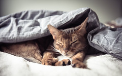 Luke (MorboKat) Tags: portrait pet cats cat usual abyssinian malecat petportrait purebred ruddy purebredcat ruddyabyssinian purebreed abyssiniancat usualabyssinian maleabyssinian