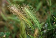 Semillas de Vida - Seeds of life (i.puebla) Tags: espaa naturaleza verde green nature spain nikon catalonia girona seeds cereals cereales catalua ampurdn espigas d60 airelibre semillas empord