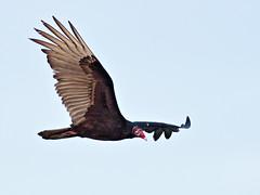 Turkey Vulture 3-20160211 (Kenneth Cole Schneider) Tags: florida miramar westbrowardwca
