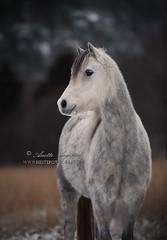 Grace (Hestefotograf.com) Tags: winter horses horse snow love oslo norway caballo bokeh pony camouflage cavalos ponies forever pferde dappled cavalo pferd whitehorse equine equus paard horseandgirl equinephotography equinephotographer hestefotograf