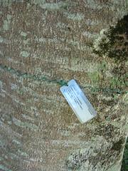 starr-091104-9141-Castanospermum_australe-plant_tag-Kahanu_Gardens_NTBG_Kaeleku_Hana-Maui (Starr Environmental) Tags: castanospermumaustrale