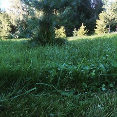Pitisi vissiin hieman useammin leikata nurmikkoa... (Matti Airaksinen) Tags: koti piha eip virhe pihat uploaded:by=flickstagram instagram:photo=1048642151474849479302847616 hikihatussa