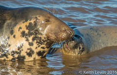 A mother and child reunion (keithhull ( Mostly offline for a while )) Tags: england lincolnshire pup greyseal donnanook