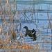 Common Moorhen (Gallinula chloropus)