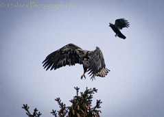 Escape (13skies) Tags: trees fly high wings close zoom top branches sony attack feather large pines depart area arrive strike descend crow needles boundary pounce takeoff defence enemy pinecones protect defender treetop bugged juvenilebaldeagle sonyalpha99 advisary