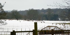 Deer (Martha-Ann48) Tags: trees winter snow animals yorkshire fences east deer hills herd dales sledder