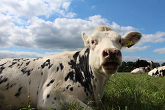 Delta Vaucluse Plonny (excellentzebu1050) Tags: animal animals closeup cow cattle outdoor farm animalportraits heifer dairycows coth5 sept2015shootcowsheifers
