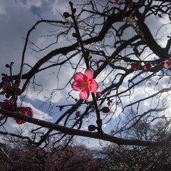 Plum in the backlight (sonica@2006) Tags: pink winter red sunlight flower backlight spring plum come blooming softly the in smiled i platinumheartaward epm1