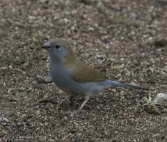 Blue Waxbill (Uraeginthus angolensis) (Peter du Preez) Tags: africa blue bird south pilansberg waxbill angolensis uraeginthus