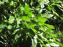 starr-091104-9053-Castanospermum_australe-leaves-Kahanu_Gardens_NTBG_Kaeleku_Hana-Maui (Starr Environmental) Tags: castanospermumaustrale