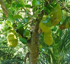 Artocarpus heterophyllus, Jack tree (annamaart) Tags: fruit jungle tenerife frukt teneriffa canaryislands puertodelacruz kanariearna djungel