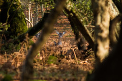 Watching... (pdjenkins54) Tags: new forest hampshire deer enclosure hursthill