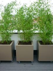Immergrner Sichtschutz (Jrg Paul Kaspari) Tags: bamboo baustelle evergreen hedge roofgarden bambus dachgarten hecke immergrn sichtschutz wincheringen bambushecke serielle sichtschutzhecke