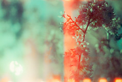 Memory of Fire and Flower (thomas_anthony__) Tags: camera flowers trees light summer flower color tree green film analog 35mm lens cherry fire gold 1 spring xpro crossprocessed minolta blossom kodak dream lightleak mc 200 dreams flare 17 cherryblossoms dreamy analogue dogwood unreal dreamlike expired daydream dreamscape daydreams sprocket kodakgold springfever leaked kodakgold200 sprocketholes rokkorpf x370s dreamforest f55mm