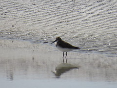 Dunlin - Florida by SpeedyJR (SpeedyJR) Tags: nature birds florida wildlife dunlin fortdesotopark pinellascountyfl pinellascountyflorida speedyjr 2016janicerodriguez