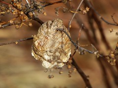 Mantis egg case in my purple spirea . (brian.m.rule241) Tags: mantis praying egg case