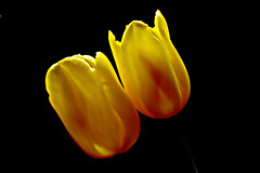 IMGP7052 Tulip (tsuping.liu) Tags: flowers nature blackbackground outdoor tulip naturesfinest natureselegantshots