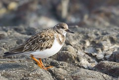 Ruddy Turnstone (swmartz) Tags: nature birds outdoors newjersey nikon january barnegat barnegatlighthouse shorebird 2016