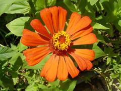 Orange zinnia (Zinnia elegans) (Sasho Popov) Tags: nature zinnia