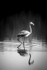 strolling (Al7arthi) Tags: white black reflection water monochrome waves ripple flamingo uae reserve abudhabi ripples abu dhabi wetland alwathba wathba alwathbah wathbah