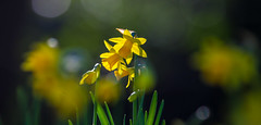 Daffy bokeh (Steve-h) Tags: park flowers ireland dublin black green nature yellow contraluz gold golden europa europe dof bokeh blossoms eu depthoffield february narcissi daffodils allrightsreserved backlighting bushypark contrajour 2016 winterspring canonef100400mmf4556lisusm hbw happybokehwednesday canoneos5dmkii steveh