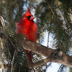 mid-morning red (JGKphotos) Tags: bird birds cardinal malecardinal northerncardinal 70d johnkunze