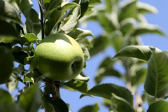 Green Apple (Atila Yumusakkaya) Tags: verde green apple alma appel elma greenapple pomme 林檎 苹果 яблоко măr μήλο تفاحة алма