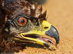 FINEST OPTICS IN THE WORLD (GOPAN G. NAIR [ GOPS Photography ]) Tags: kite lens photography eyes power eagle falcon powerful sensor optics megapixels gops gopan gopsorg gopangnair gopsphotography