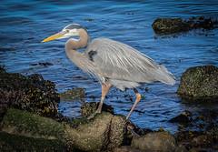 Miller Knox~~Great Blue Heron  03/16/2016 (CatsMan2) Tags: bird nature richmond calif greatblueheron pointrichmond millerknox ebparksok