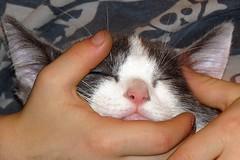 I Love Little Pussy (5of7) Tags: pet love animal closeup cat canon happy holding hands kitten feline poem little sweet pussy content powershot excellent fav 10fav hold nurseryrhyme 13fav challengewinner sx60 ilovelittlepussy andromeda50bestofthebest ilovelittlekitty hercoatissowarm