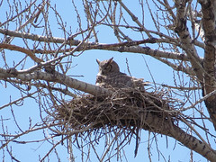 Great Horned Owl Sitting Up in Nest Brooding Young (nature80020) Tags: bird nature colorado nest wildlife owl brooding greathornedowl metzgerfarmopenspace
