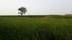 Mustard Farm (Tarun Chopra) Tags: travel india canon photography indiatravelphotography gurugram