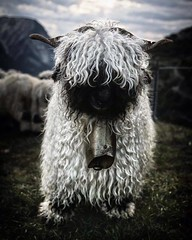 Les moutons en Valais (Switzerland) (aydanfavre) Tags: blackwhite sheep bell horns curly mountainsheep