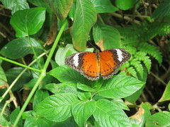 Cethosia penthesilea 1 (barryaceae) Tags: house butterfly harbour australia nsw coffs the ausbutterfly