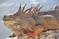 Head-bobbing interactions in the wild. Iguana of the Florida Keys. (beyondhue) Tags: wild portrait brown eye scale keys florida head reptile wildlife bob sunny lizard iguana interaction beyondhue