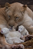 DSC_4471-1 (Linda Smit Wildlife Impressions) Tags: cats white nature animal cat mammal photography big nikon outdoor african wildlife birth lion d750 cubs endangered lioness bigcats cecil carnivore lioncubs givingbirth