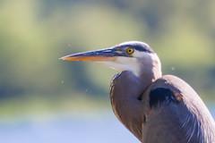 SammParkJun15 (2 of 6) (triforfun) Tags: park wild lake bird heron nature water grey state wing beak feather issaquah sammamish