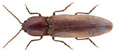 Stenagostus rhombeus (Olivier, 1790) Syn.: Stenagostus villosus (Fuorcroy, 1785) (urjsa) Tags: england insect europa europe britain beetle insekt käfer coleoptera kaefer villosus elateridae taxonomy:order=coleoptera taxonomy:family=elateridae rhombeus geo:country=england coleopteraus taxonomy:species=villosus stenagostus stenagostusrhombeus taxonomy:species=rhombeus taxonomy:binomial=stenagostusvillosus taxonomy:genus=stenagostus taxonomy:binomial=stenagostusrhombeus stenagostusvillosus