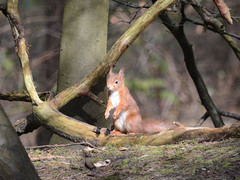 Red Squirrel at Formby (Peter Owen) Tags: red squirrel redhead redsquirrel formby pinewoods
