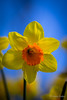 Orange Trumpet (JKmedia) Tags: flowers blue orange green floral sunshine yellow spring flora daffodil growing trumpets narcissus 2016 gaffs canoneos7dmarkii boultonphotography