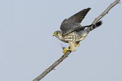 Merlin with snack (603_0835-1) (Eric SF) Tags: california dragonfly fremont raptor merlin bestpractices coyotehillsregionalpark ebpark ebparksok