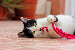 Chaplina plays. (Sara C.M) Tags: pink cats playing green blancoynegro animals cuerda blackwhite eyes rosa rope moustache ojos gato animales verdes jugando bigote efs60mmmacrousm canoneos550d