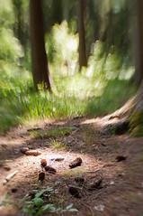 spot on (sduesterhus) Tags: light nature lensbaby forest licht nikon cone outdoor natur forestfloor wald spruce taunus fichte zapfen waldboden hohemark d5000