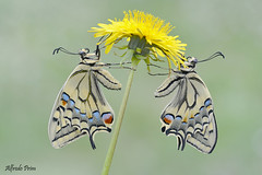 Papilio machaon (duo) (alfvet) Tags: macro primavera nikon ngc butterflies npc insetti farfalle sigma150 parcodelticino platinumheartaward d5200 veterinarifotografi