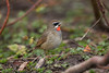 Siberian Rubythroat 5830 (Chris Galvin Photography) Tags: netherlands march places ruby calliope 2016 siberianrubythroat beukenlaan hoogwoud ©chrisgalvin2016