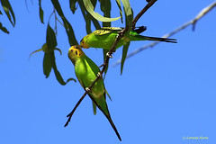Easy meal (aussiegypsy_roaming Outback) Tags: wild green bird yellow female colorful adult wildlife small country australian parrot australia budgerigar budgie parakeet queensland trunk outback remote curious colourful thin aussie inland gumtree hollow isolated slender inquisitive curiousity plumage mtisa nomadic birdlife breedingplumage melopsittacusundulatus lookingatcamera budgi nestingsite