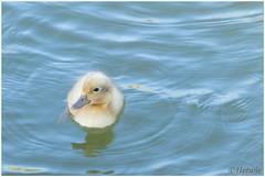 geel eendenkuiken (HP0099657) (Hetwie) Tags: bird nature animal nederland natuur mallard eend vogel noordbrabant kuiken helmond watervogel brouwhuis geelkuiikentje