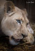 DSC_3786-1 (Linda Smit Wildlife Impressions) Tags: cats white nature animal cat mammal photography big nikon outdoor african wildlife birth lion d750 cubs endangered lioness bigcats cecil carnivore lioncubs givingbirth