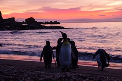 Getting Ready For The Day (Barbara Evans 7) Tags: georgia gold dawn penguins king harbour south antarctica barbara at evans7