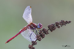 sympetrum fonscolombii (mauro.santucci) Tags: libellule libellula sympetrumfonscolombii odonati